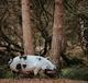 A kunekune pig  in front of two trees - image by Annie Spratt